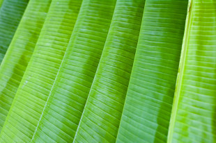 lined up banana leaves
